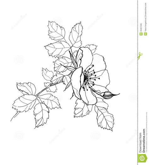 Rose flower pencil drawing stock vector