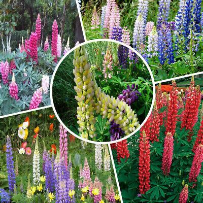 Wholesale 100pcs Mixed Russell Lupine Seeds Lupinus